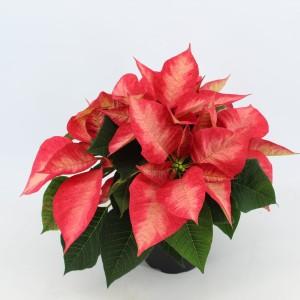 Euphorbia pulcherrima PREMIUM ICE CRYSTAL (Joy Plant)