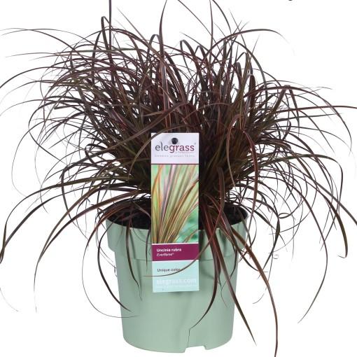 Uncinia uncinata EVERFLAME (Hoogeveen Plants)
