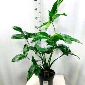 Philodendron 'Fun Bun'