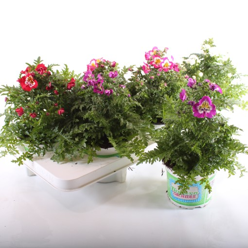 Schizanthus MIX (Experts in Green)