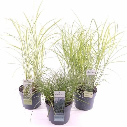 Miscanthus MIX (Hoogeveen Plants)