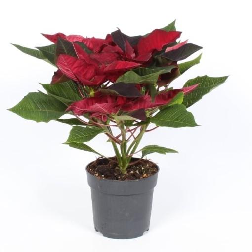 Euphorbia pulcherrima CORTEZ BURGUNDY (Endhoven Flowering Plants)