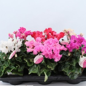 Cyclamen persicum SUPER SERIE MERENGUE MIX