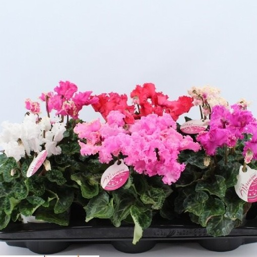 Cyclamen persicum SUPER SERIE MERENGUE MIX (Joy Plant)