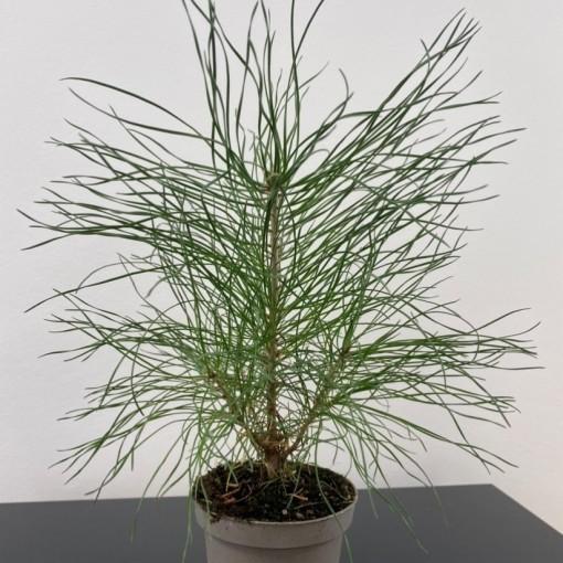 Pinus sylvestris (Gasa DK)