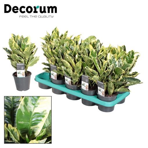 Codiaeum variegatum 'Eburneum' (JoGrow B.V.)