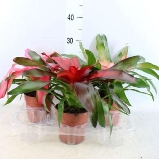 Neoregelia MIX (Stofbergen, Plantcompany)