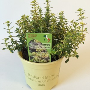 Thymus x citriodorus 'Aureus' (Green Collect Sales)