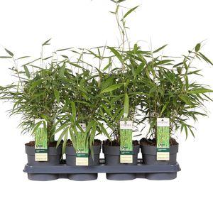 Fargesia robusta 'Pingwu' (Hoogeveen Plants)