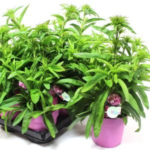 Dianthus barbatus 'Dash Magician'