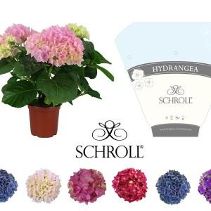 Hydrangea macrophylla MIX