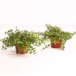 Ficus pumila 'White Sunny'