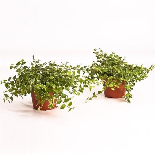 Ficus pumila 'White Sunny' (Bunnik Plants)