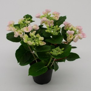 Hydrangea macrophylla HOVARIA HOBELLA
