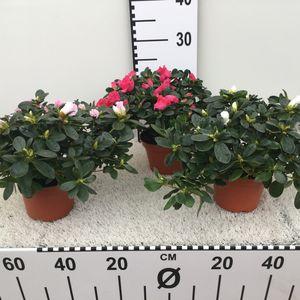 Rhododendron HELLMUT VOGEL MIX