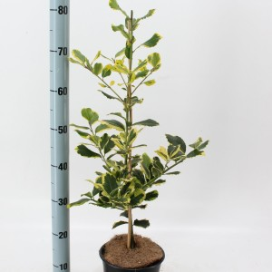 Ilex x altaclerensis 'Golden King' (About Plants Zundert BV)