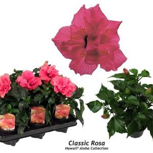 Hibiscus rosa-sinensis 'Classic Rosa'