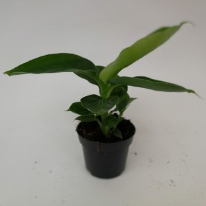 Musa acuminata 'Dwarf Cavendish' (Kwekerij Mariënoord b.v.)
