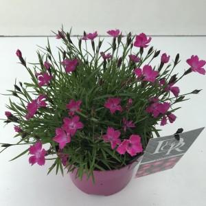 Dianthus superbus KAHORI PINK
