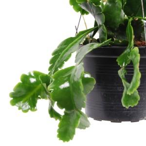 Rhipsalis crispimarginata (Van der Arend Tropical Plantcenter)