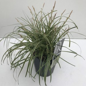 Carex oshimensis EVERCOLOR EVERCREAM