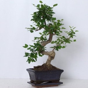 Ligustrum sinense (Trendy Bonsai BV)