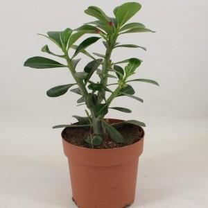 Adenium obesum 'Anouk' (Amstelzicht BV)