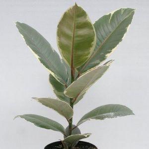 Ficus elastica 'Tineke'