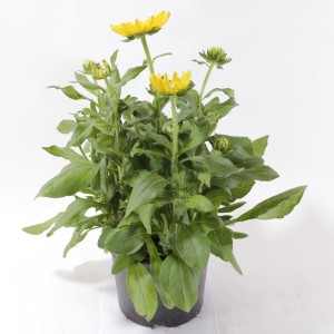 Rudbeckia hirta 'Prairie Sun' (Experts in Green)