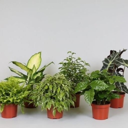 Foliage plants MIX (Groot BV, Kwekerij J. de )