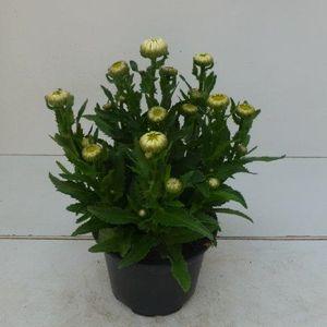 Leucanthemum x superbum 'Snow Lady' (Experts in Green)