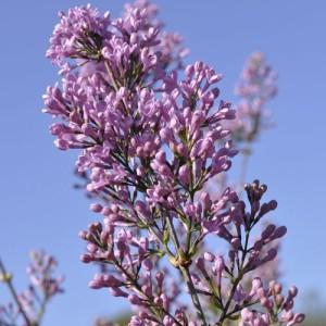 Syringa x chinensis 'Lilac Sunday' (Lakei Boomkwekerijen)