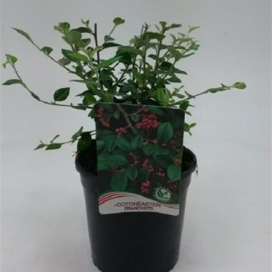 Cotoneaster franchetti (WTM de Boer)