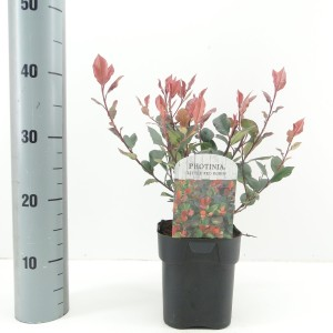 Photinia x fraseri 'Little Red Robin' (Hooftman boomkwekerij)