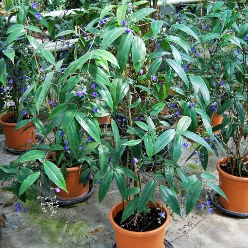 Dichorisandra penduliflora (Van der Arend Tropical Plantcenter)