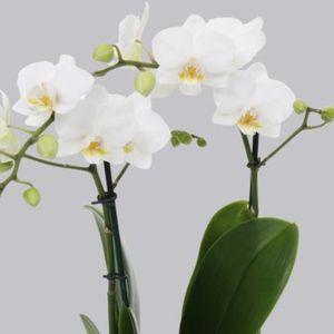 Phalaenopsis FLORICLONE SNOW FLAKE