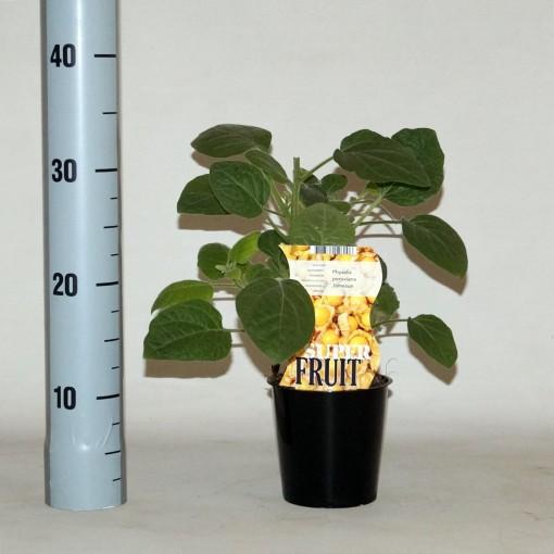 Physalis peruviana JAMESUN (BOGREEN Outdoor Plants)