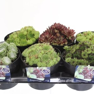 Sempervivum MIX (Kwekerij de Noordpoel)