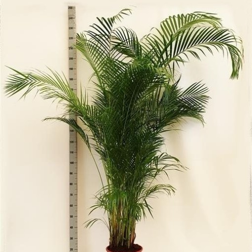 Dypsis lutescens (Westland Plant)