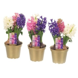 Hyacinthus orientalis MIX IN POT