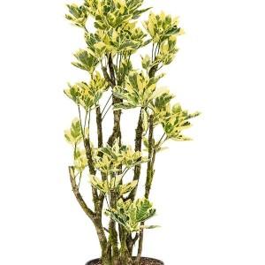 Codiaeum variegatum 'Eburneum'