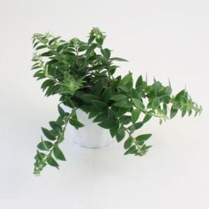 Aeschynanthus 'Mira'