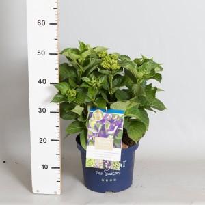 Hydrangea macrophylla MAGICAL AMETHYST