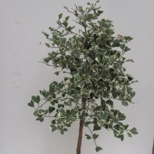 Ficus natalensis leprieurii SWEETHEART