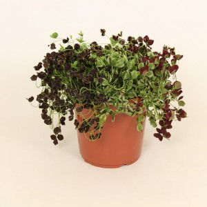Trifolium repens MIX IN POT