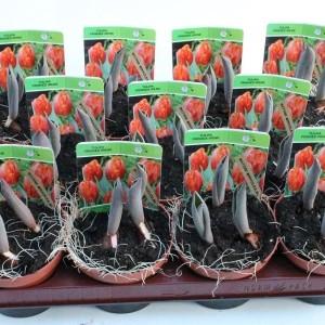 Tulipa 'Sunset Tropical' (Gebr. Straathof)