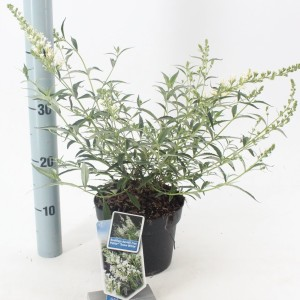 Buddleja FREE PETITE SNOW WHITE (About Plants Zundert BV)