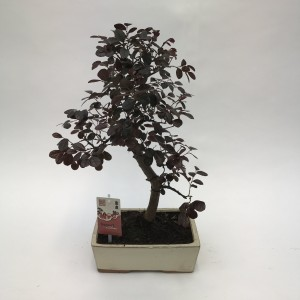 Loropetalum chinense (M&M Garden)