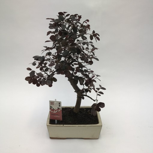 Loropetalum chinense (M&M Garden)
