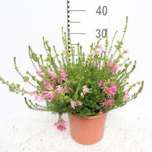 Erica verticillata (Experts in Green)
